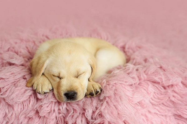 Exceptional Partner -7 week yellow Lab puppy sleeping on pink