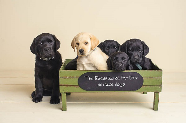 Exceptional Partner -Labrabor puppies, future service dogs