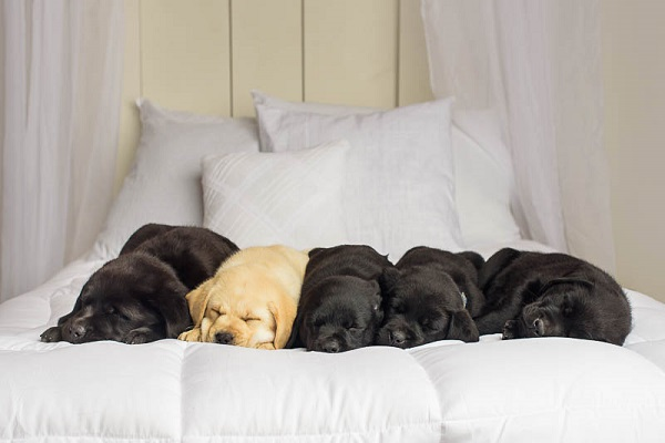 Exceptional Partner-Sleeping Labrador Puppies