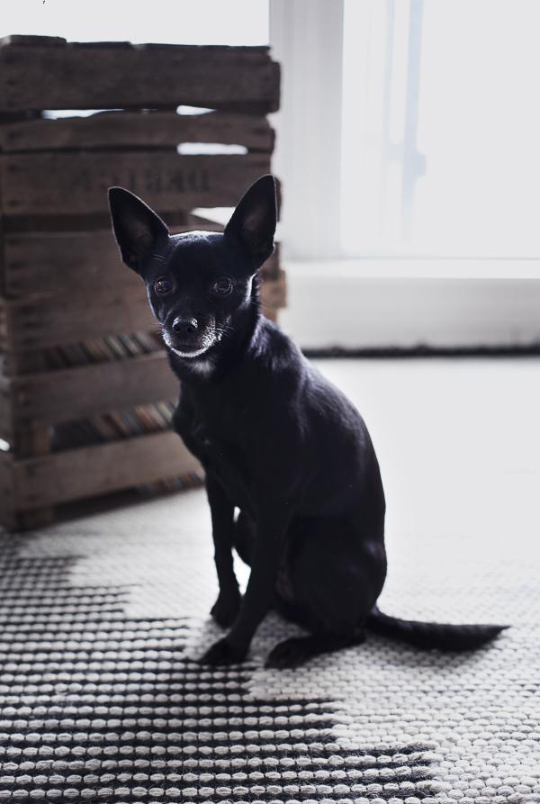 small black dog sitting on rug,