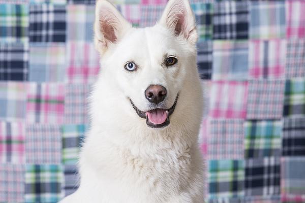 white mixed breed, blue eye brown eye, calendar fundraiser for animal shelter