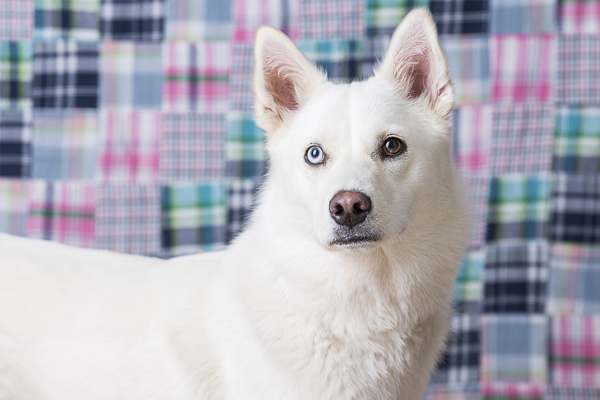 © Tangled Lilac Photography | Husky/Shepherd mix, studio dog photography