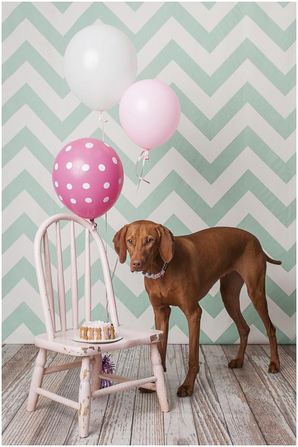 J Catherine Photography Vizsla, cake, balloons, dog pawty