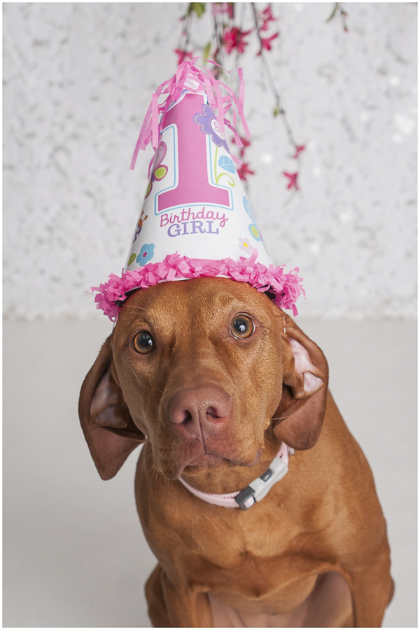 J Catherine Photography-Vizsla birthday girl wearing pink hat