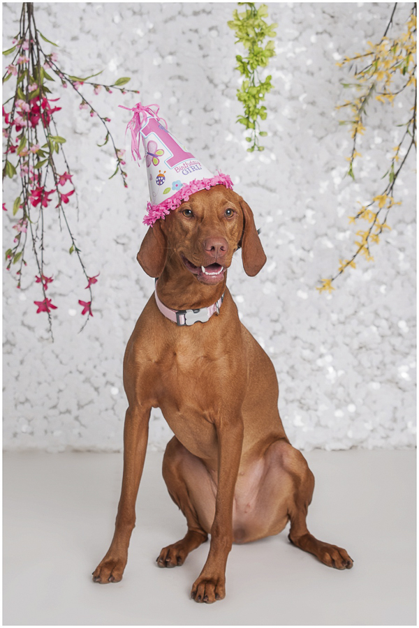 Vizsla wearing birthday hat white sequin background, studio dog photography,