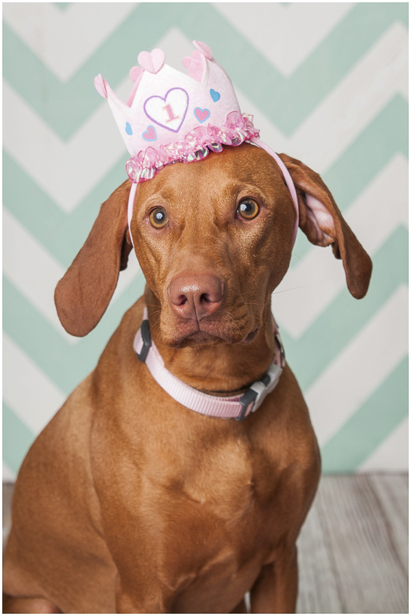 © J Catherine Photography | Vizsla wearing pink birthday hat, SC pet photographer