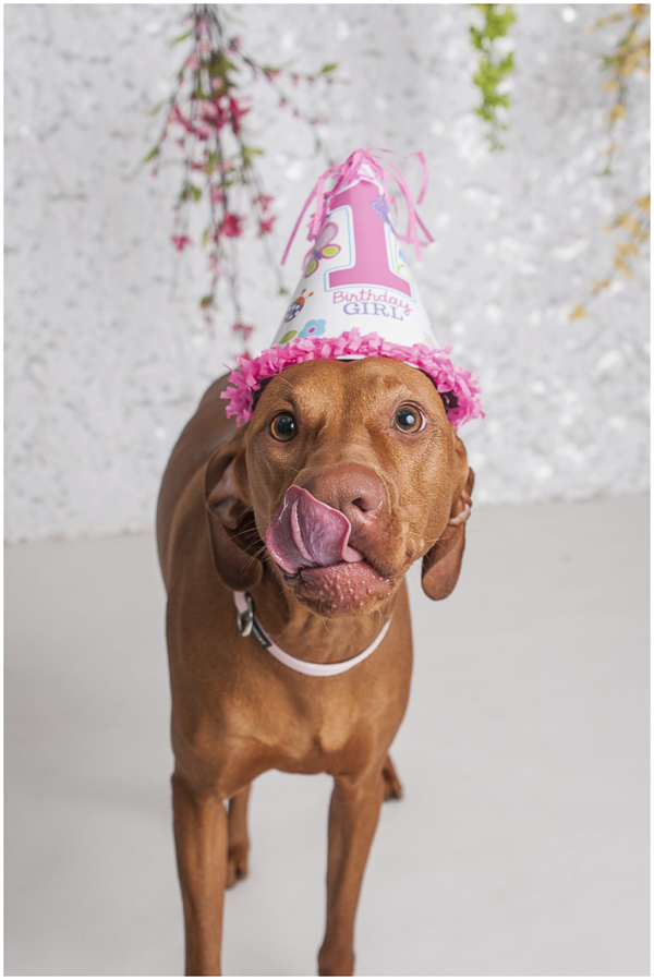Vizsla wearing pink 1 birthday girl hat, tongue out, studio pet photography, white sequin background