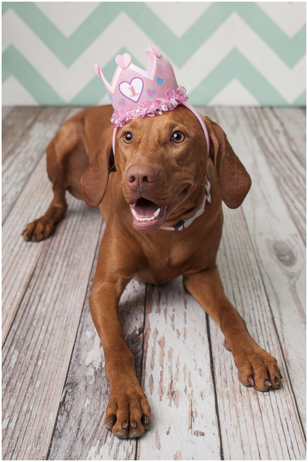 J Catherine Photography dog pawty, green white chevron background, Vizsla in pink hat