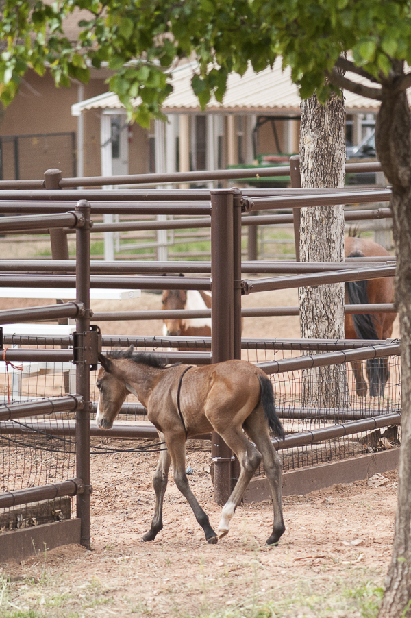 young foal entering ring at Best Friends Horse Haven