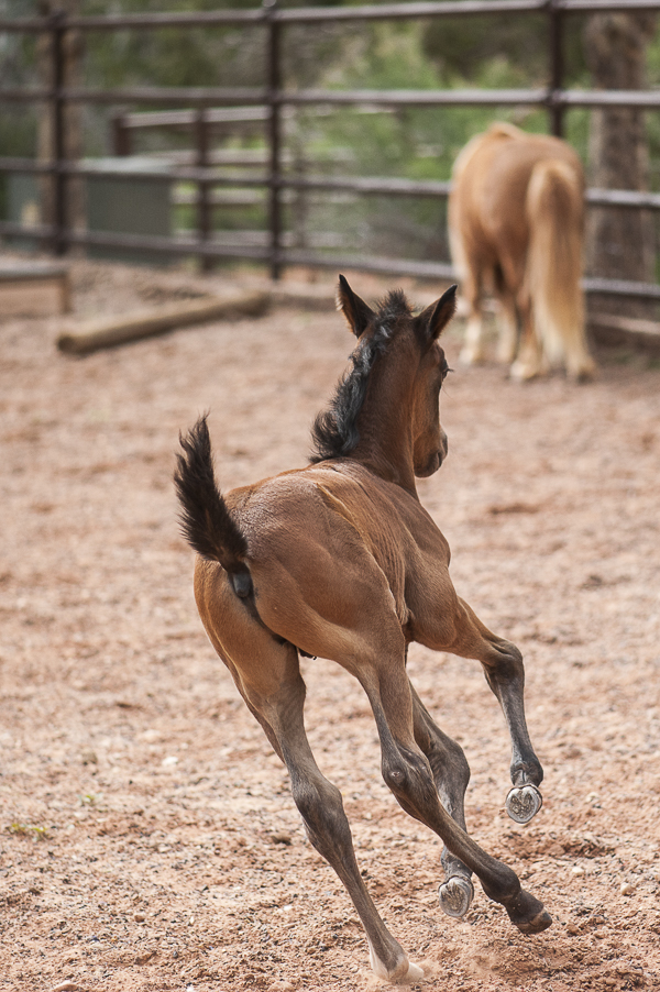 Young colt running in ring, Best Friends Animal Sanctuary