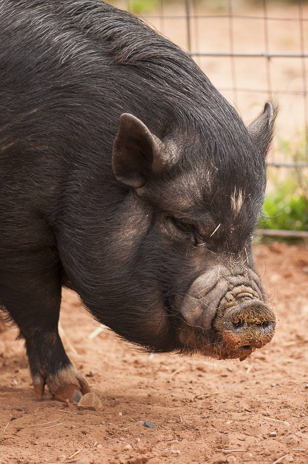 pig with Donald Drumpf comb over, Best Friends Animal Sanctuary