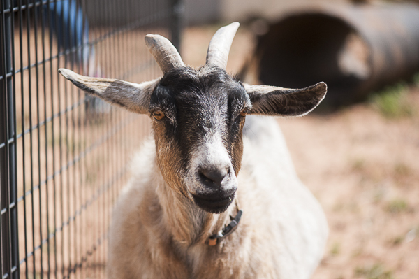 Pygmy goat, Best Friends Animal Sanctuary