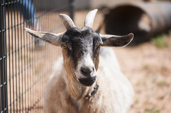 Pygmy goat, Best Friends Animal Sanctuary