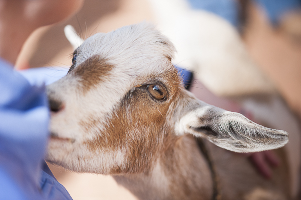 Nigerian Dwarf goat, Best Friends Animal Sanctuary