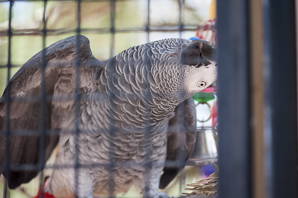 African Grey Parrot playing peekaboo, Best Friends Animal Sanctuary
