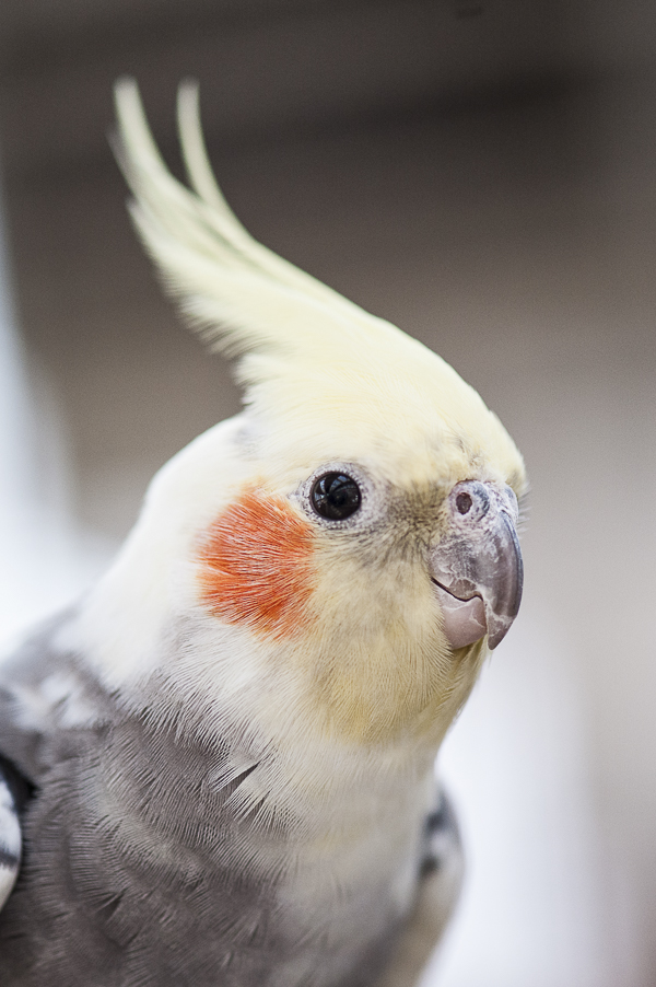 cockatiel | Best Friends Animal Sanctuary