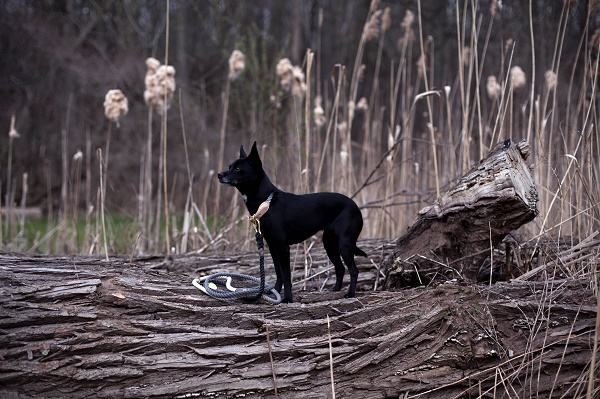 small black dog standing on fallen tree, Found My Animal ombre leash