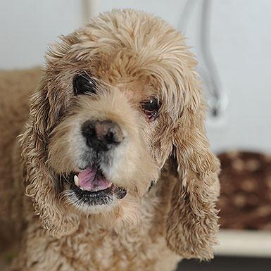 Adopt senior spaniel Caspian from Best Friends Animal Sancutary