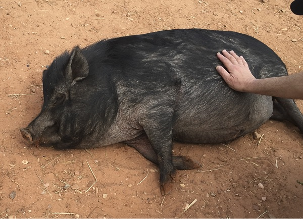 Daily Dog Tag-Pig getting belly rub