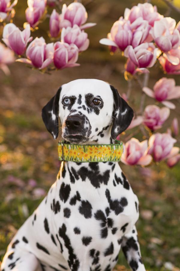 dalmation wearing daffodil collar,