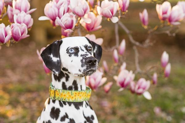 dalmatian intensely focusing on treat, magnolia tree