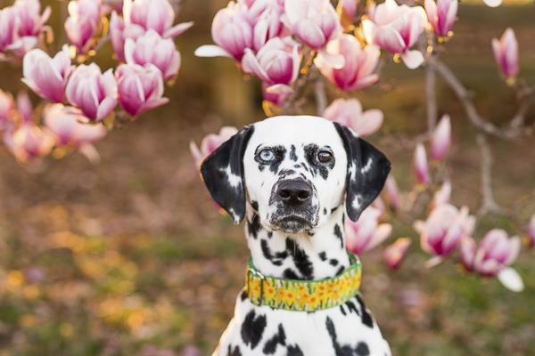 Dalmatian magnolia tree-20