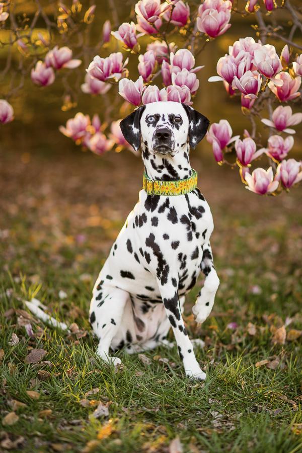 Dalmatian, pink magnolia tree