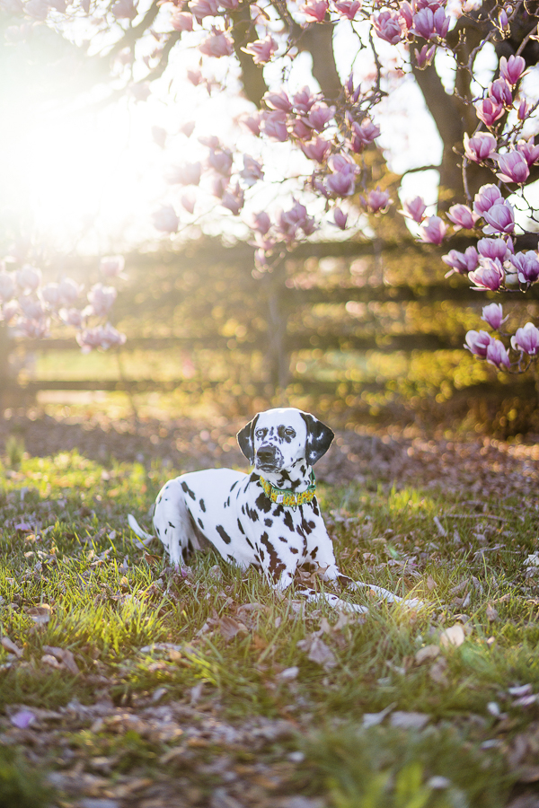 dalmatian lying by split rail fence, Magnolia tree