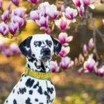 Dalmatian magnolia tree-6