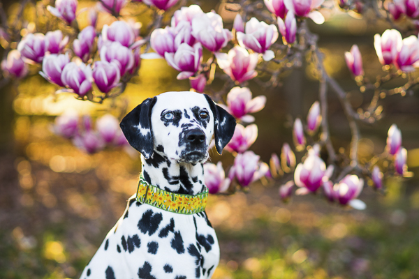 Happy Tails:  Saoirse the Dalmatian