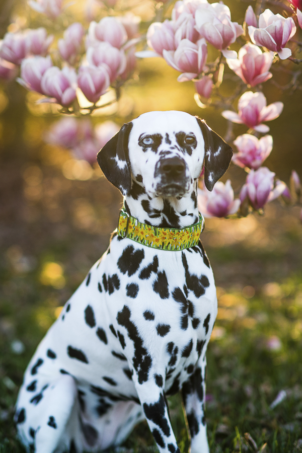 Dalmatian, magnolia tree, golden hour light