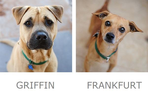 Griffin Frankfurt Adoptable Dogs Best Friends Animal Sanctuary