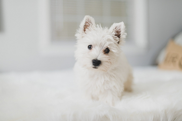 Westie puppy sitting on pillow, © Megan Travis Photography