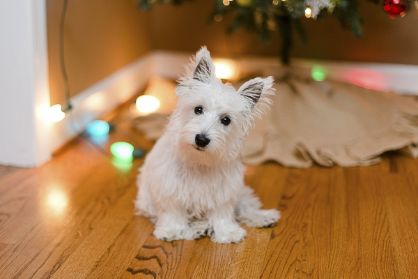 © Megan Travis Photography | Westie under Christmas tree