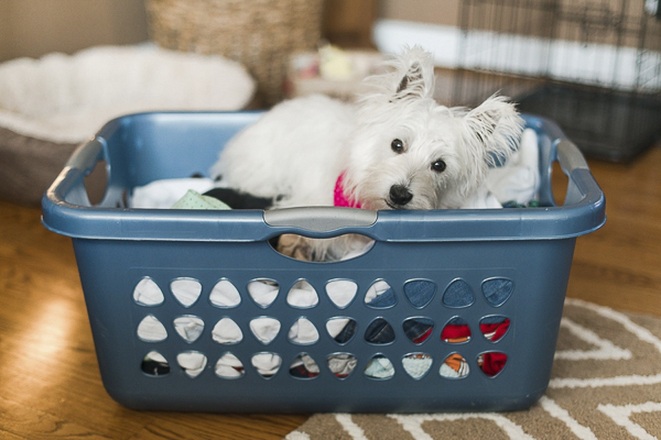 ©Megan Travis Photography | Westie lying in laundry basket