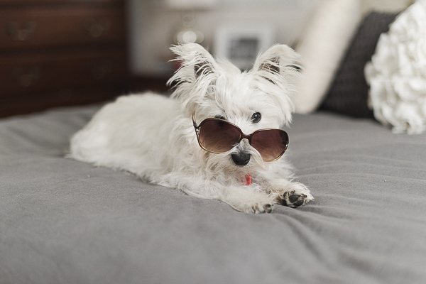 Westie wearing sunglasses