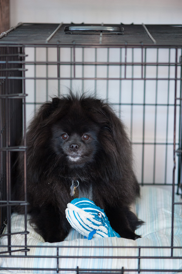 Emergency evacuation, black Pomeranian in crate, emergency preparation for pets