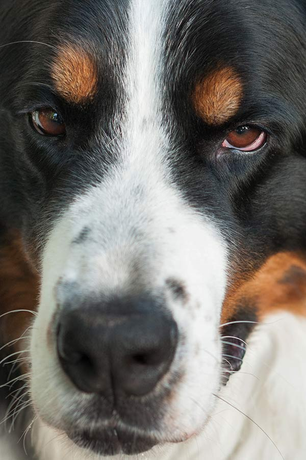 Bernese Mountain Dog close up