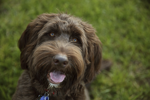 © Two Chics Photography Handsome brown Labradoodle closeup