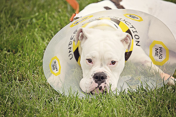 Vintage and Vogue American Bulldog wearing cone of kindness