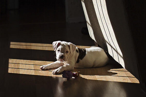 Vintage and Vogue American Bulldog Puppy lying on hardwood floor