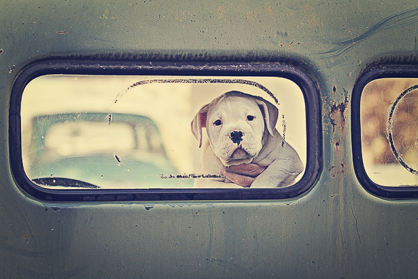 American Bulldog mixed breed puppy looking out rear window International pick up