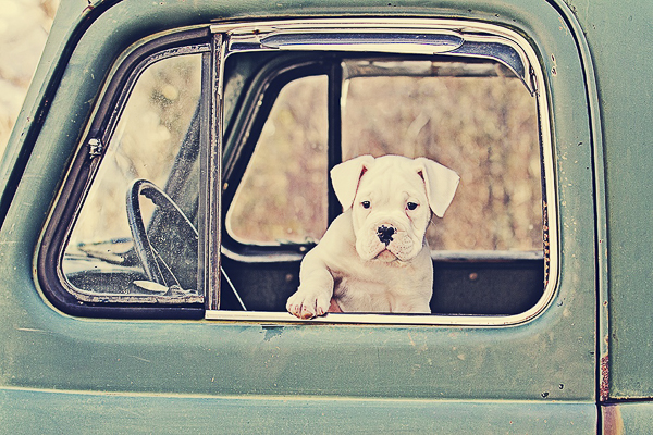Vintage and Vogue American Bulldog-Boxer Puppy in old International truck