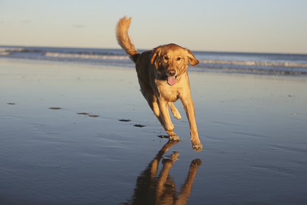 Golden Retriever, Chase running on beach