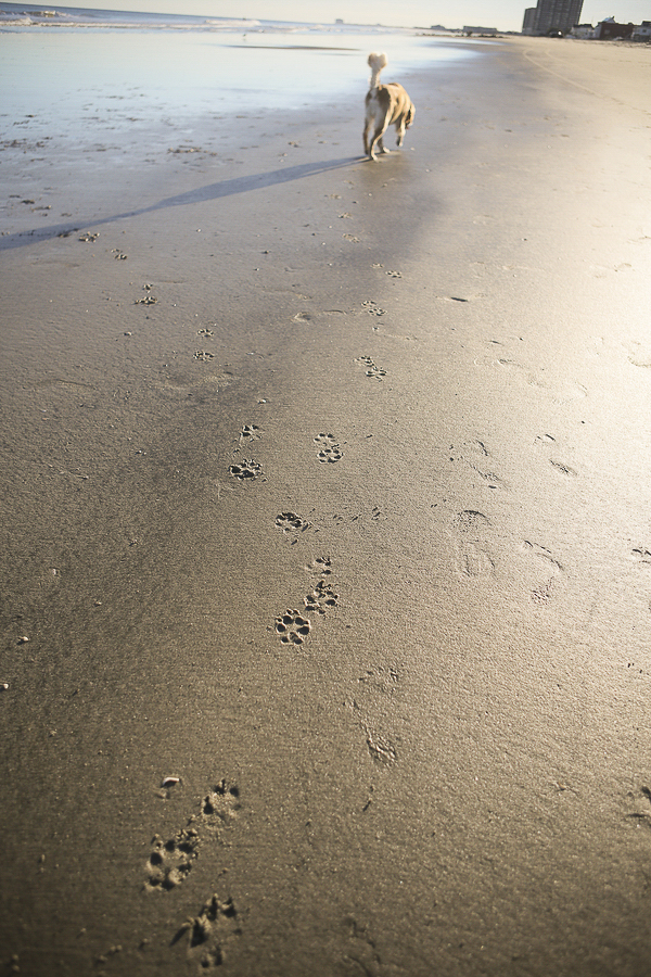 Golden Retriever pawprints on sandy beach, Jersey Shore dog