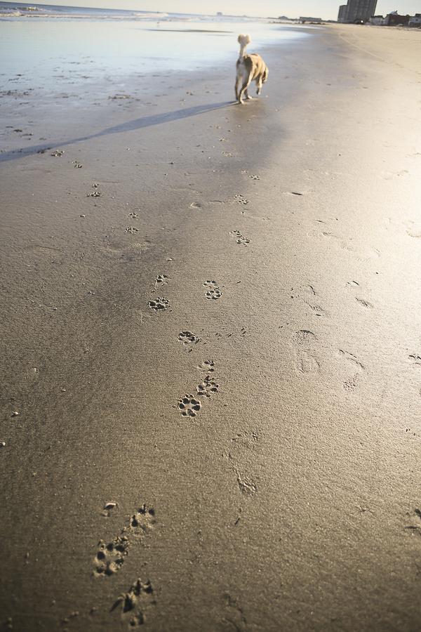 Golden Retriever pawprints on sandy beach, Jersey Shore dog
