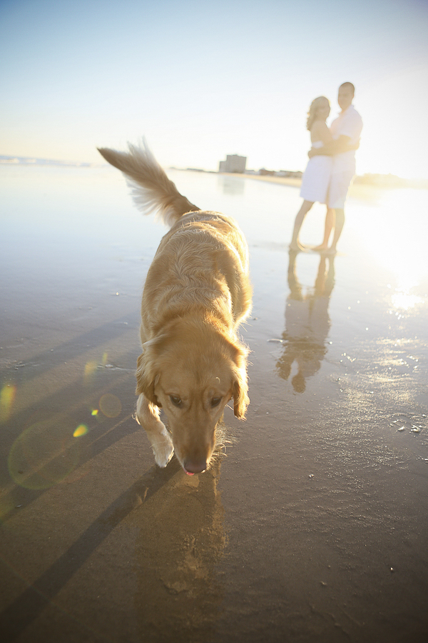 Beach Golden Retriever, including dogs in engagement pictures