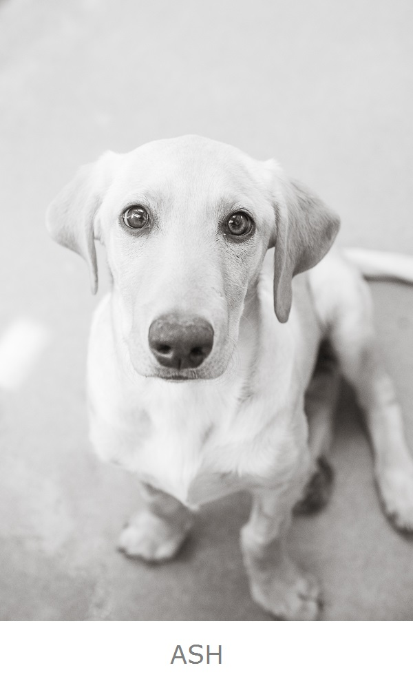 Adoptable dwarf yellow Labrador Retriever