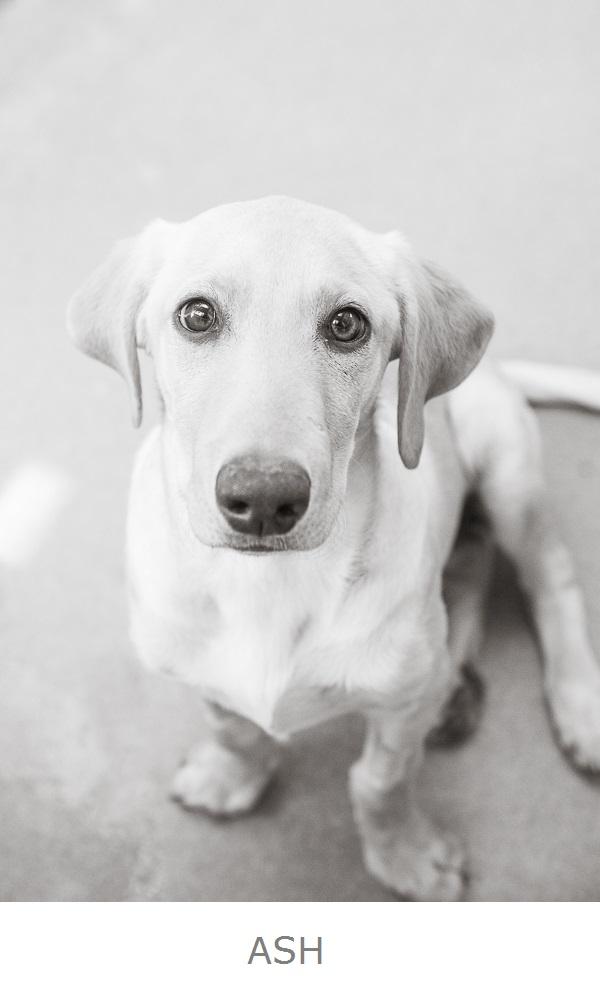 Adoptable dwarf yellow Labrador Retriever
