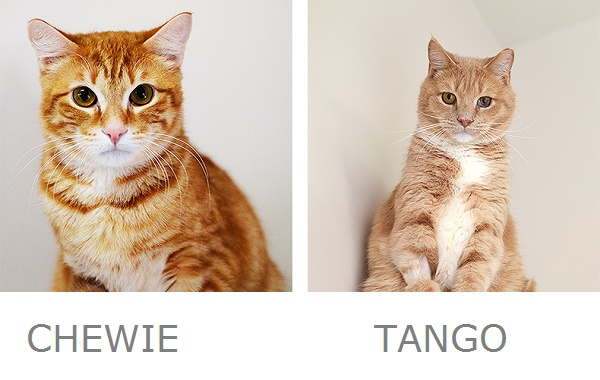 Chewie & Tango Adoptable Cats from Best Friends Animal Sanctuary